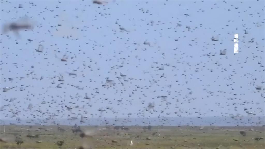 東非沙漠蝗蟲肆虐 4千億隻危急巴基斯坦、印度