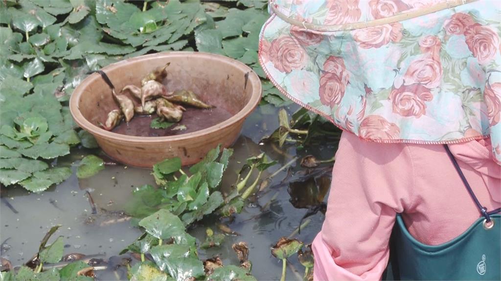 想吃還得再等等! 乾旱+大雨打亂產季 菱角趕不上中秋旺季!