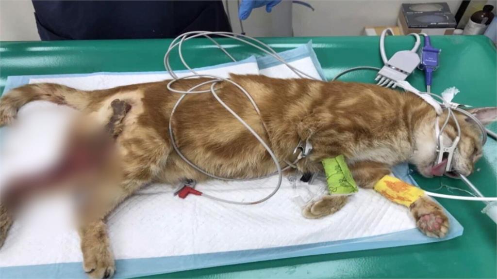 狠!北市街貓疑遭潑酸攻擊 11隻貓燒燙傷