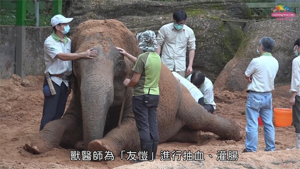 北市39歲亞洲象「友愷」身體不適 食慾不振、脫水 緊急抽血送驗
