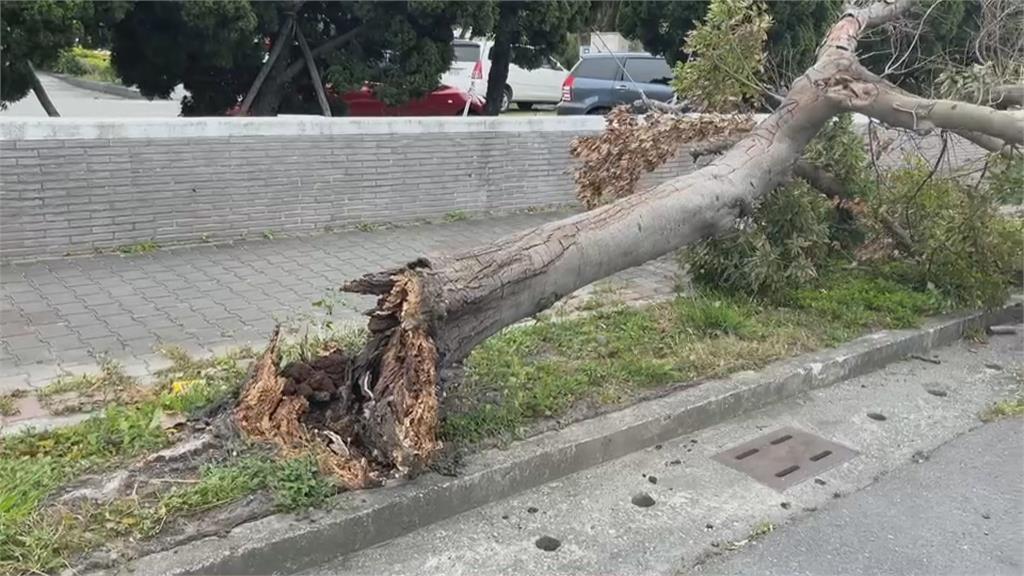 16縣市強風特報 台東8級陣風吹倒樟樹砸車