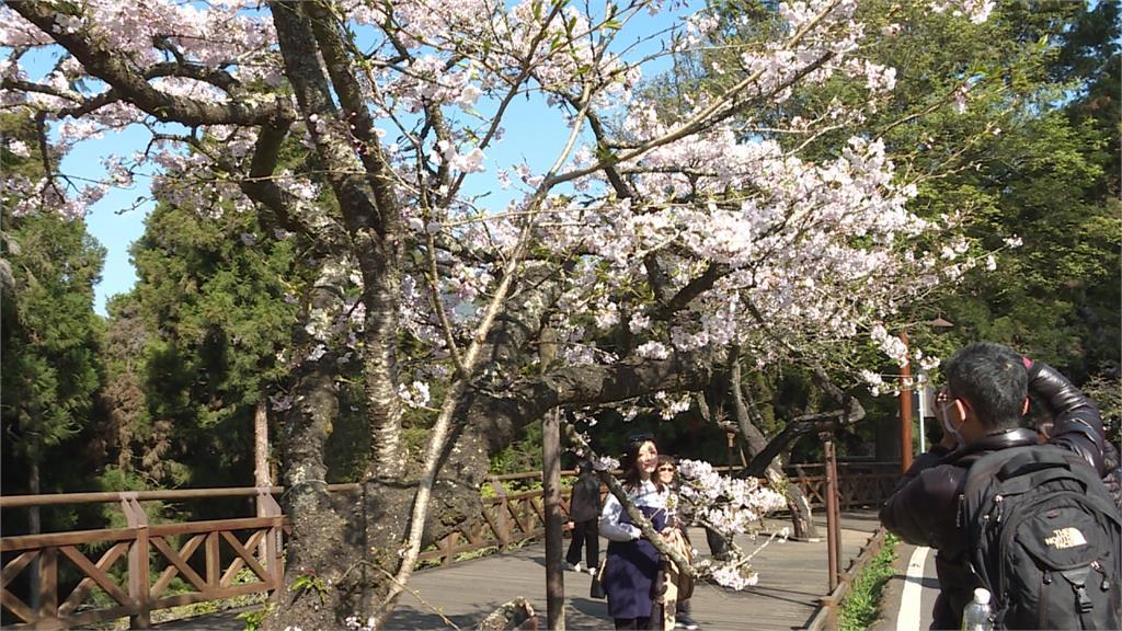 粉紅「櫻王」魅力無法擋!阿里山賞櫻車流綿延逾3公里