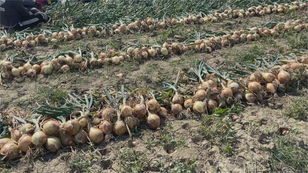 笑不出來!恆春洋蔥進入採收期價格低迷 農友盼政府出手