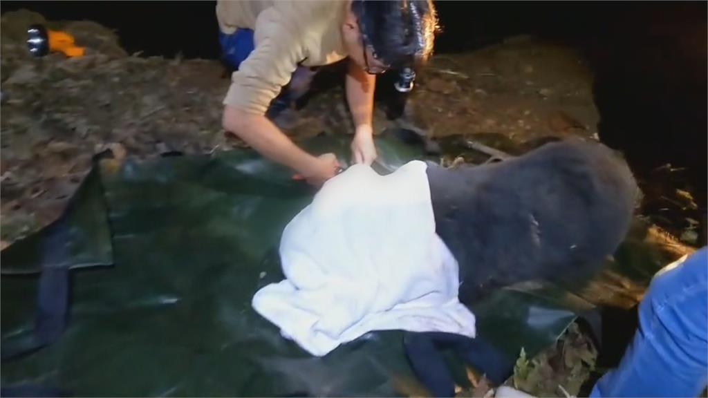 台灣黑熊受困陷阱身中3槍 林管處移送保七調查!