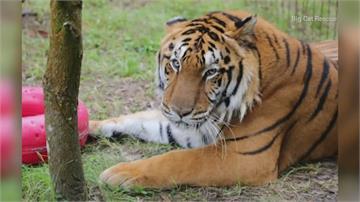 《虎王》影片掀爭議 美眾院立法禁止私人養大型貓科動物