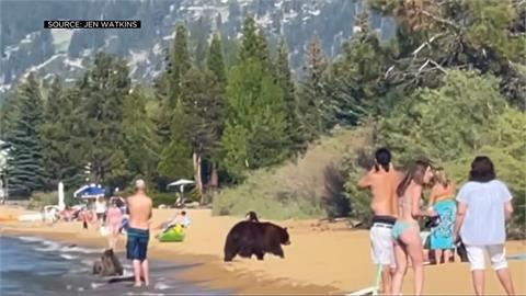 熱翻! 加州海灘「熊出沒」1家4口戲水民眾驚