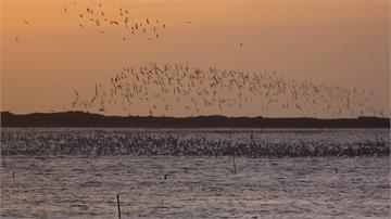 台南北門黑腹燕鷗每年11月來過冬成千上萬「黑點」翱翔天際