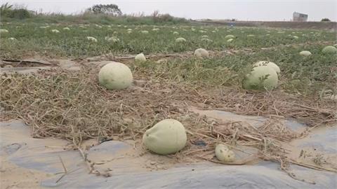 缺水長不大 學甲頂洲西瓜產量剩4成