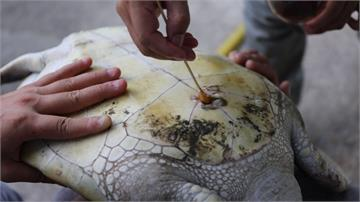 迷航綠蠵龜連續7天排泄「塑膠垃圾」 腹部破一個洞