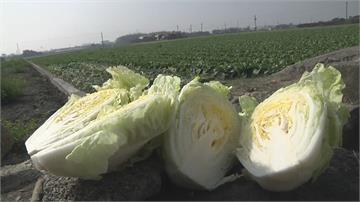 走一趟蔬菜產地!貨量暴增價格跌供過於求 賣不出台北就地處理
