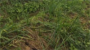 史上首次!宜蘭雨不停產量銳減 三星蔥移至花蓮翻種