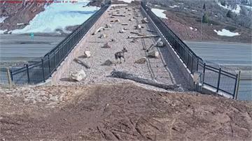 """美國猶他有個""""動物天橋"""" 保護野生動物 免遭車輛撞死"""