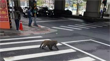 動物過年也走春?捷運站驚見猴子逛大街 網友戲稱「北漂青年」
