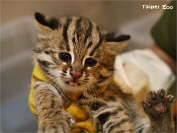 北市動物園石虎三兄妹 貓雄貓攬貓控萌樣曝光