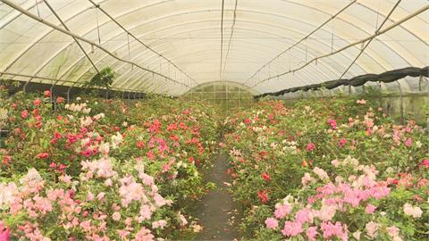 走訪杜鵑花故鄉!萬里、金山擁超過300種品系