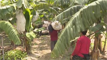 香蕉也有保險你知道嗎?農損、價格崩跌都可以拿理賠