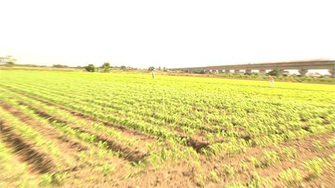 種高粱救高鐵 ! 沿線改種耐旱作物不抽地下水