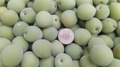 乾旱青梅大縮水!南投信義鄉梅果僅剩五元硬幣大