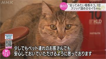 日本看板貓票選! 民眾最想見福島「暖鞋貓」
