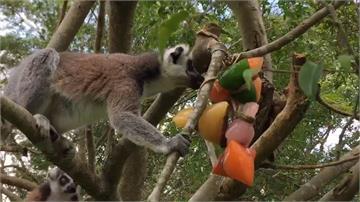 動物也過端午節!限定冰涼「果汁粽」環尾狐猴超愛