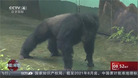 """重慶動物園黑猩猩與遊客拚伏地挺身 """"渝輝""""最愛洗衣服"""