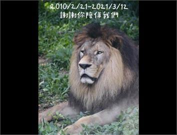 快新聞/壽山動物園人氣明星非洲獅「小巴」病逝 園方從小帶大嘆不捨
