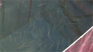 魚虎破壞日月潭生態 放養天敵鱸鰻除害