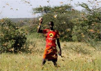 東非爆發25年來最嚴重蝗災 糧食危機惡化