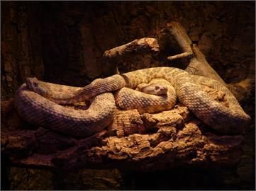 女子通報家中有蛇!專家一到場抓出「92條響尾蛇」恐怖畫面曝光