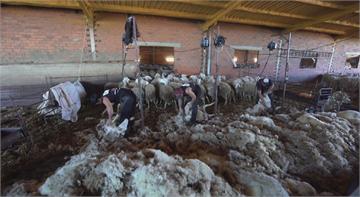 西班牙牧場包機 載烏拉圭師傅來剪羊毛