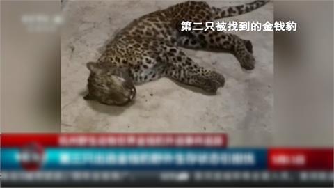 怕五一長假營業收影響 3隻金錢豹落跑 杭州動物園竟隱瞞
