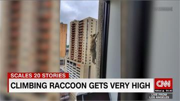 浣熊變身「蜘蛛人」!爬上23層樓高大廈外牆