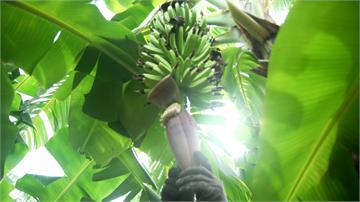 台灣農產品進軍國際 香蕉重返輸日榮景