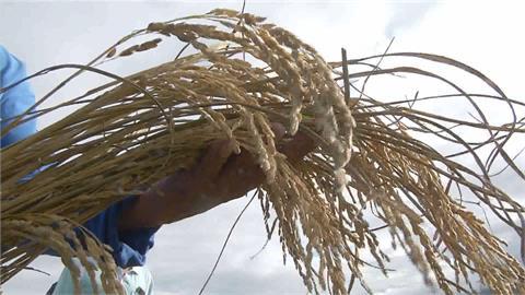 台東關山稻米無故枯死 殼內無米變「空包彈」