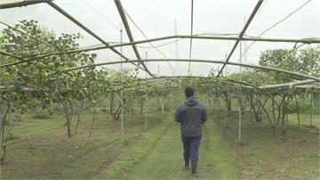 蜜棗怕水氣 果農搭設帆布紗網防凍傷