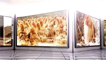 宣稱「代養代售」雞隻年賺57% 千人上當被詐近9億