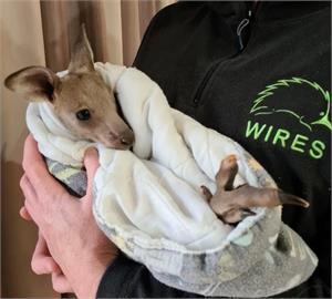 澳洲2少年被控虐殺14隻袋鼠 最高恐處5年監禁