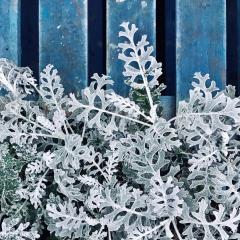 耶誕節佈置必備!9種「雪銀色」觀葉植物 讓你家質感暴漲
