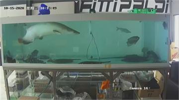 快來人啊!象魚暴衝跳出水族箱下一秒... 重摔在地 內出血死了