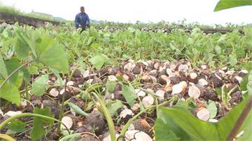 七月高溫乾旱少雨 苗栗芋頭熱出八成農損