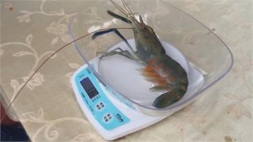 有得吃有得玩!屏東潮州「賽神蝦」今年冠軍神蝦出爐 重達271公克