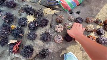 婦人象鼻岩撿海膽遭盤查 採47顆只能帶走1顆