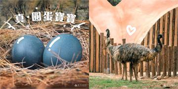 快新聞/寶藍色的蛋!林智堅秀動物園新生命 另類圓蛋寶寶