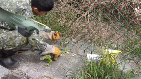 綠鬣蜥攻陷彰化社頭 達人一天抓到9隻