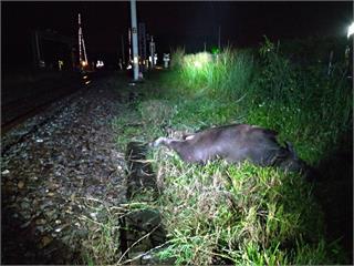 快新聞/台鐵列車又撞到牛!自強號鼻頭蓋受損 花蓮「東竹=富里」一度停駛