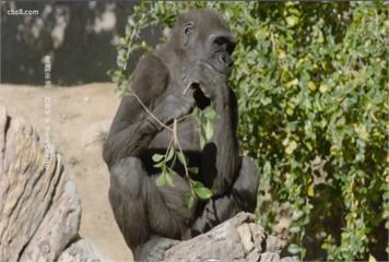 全球首例!加州動物園猿猴施打動物用疫苗
