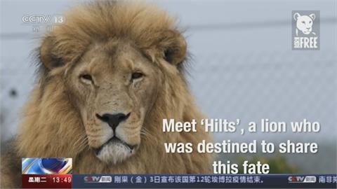 「狩獵產業鏈」獅子淪戰利品 南非禁業者圈養