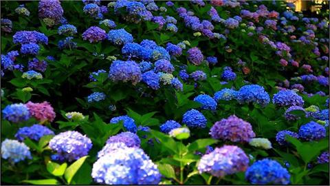 春夏出遊賞花 繡球花向日葵陸續盛開