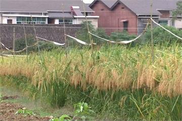 中國「稻蛙結合」研發巨型水稻 解決糧食浩劫