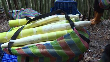 阿里山轎篙筍滯銷 價跌影響農民生計